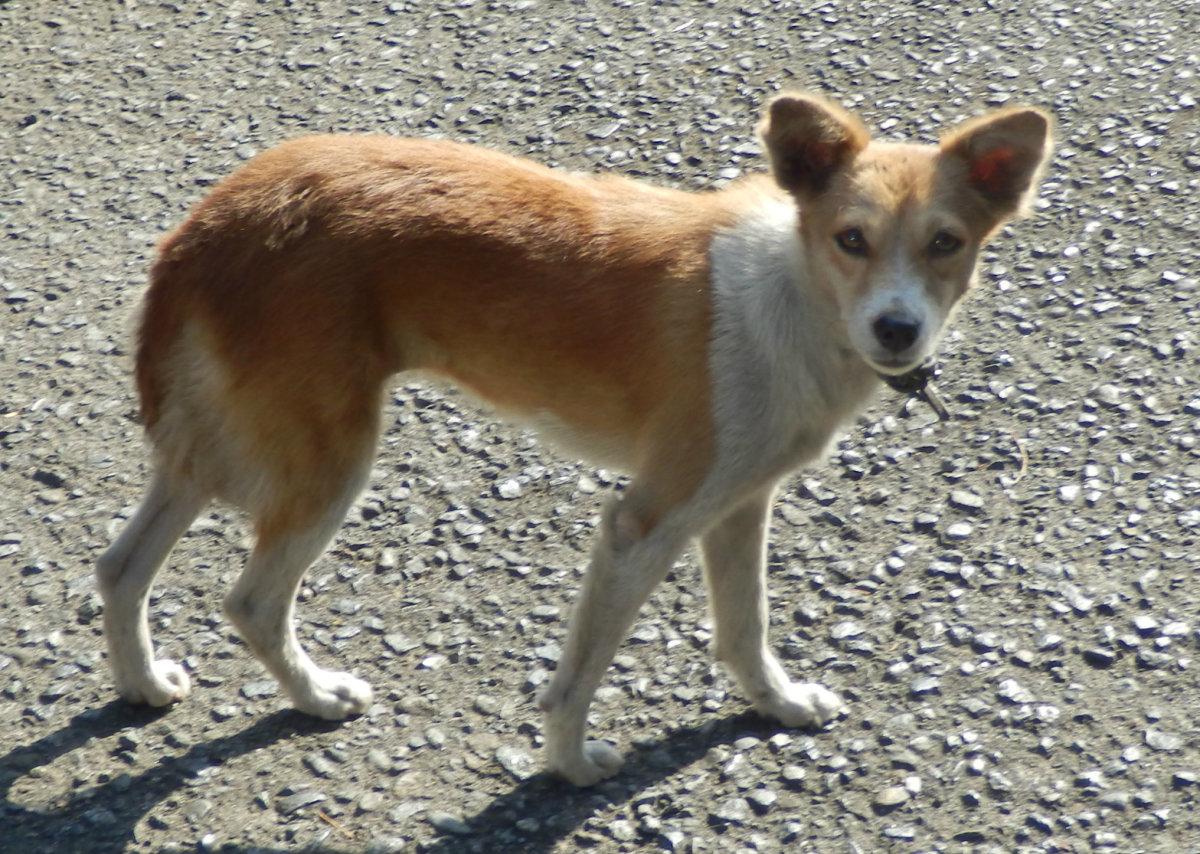 "An ""aspin"" short for ""asong pinoy"" is a very resilient breed, relatively healthy and has adapted well to Philippine living conditions."
