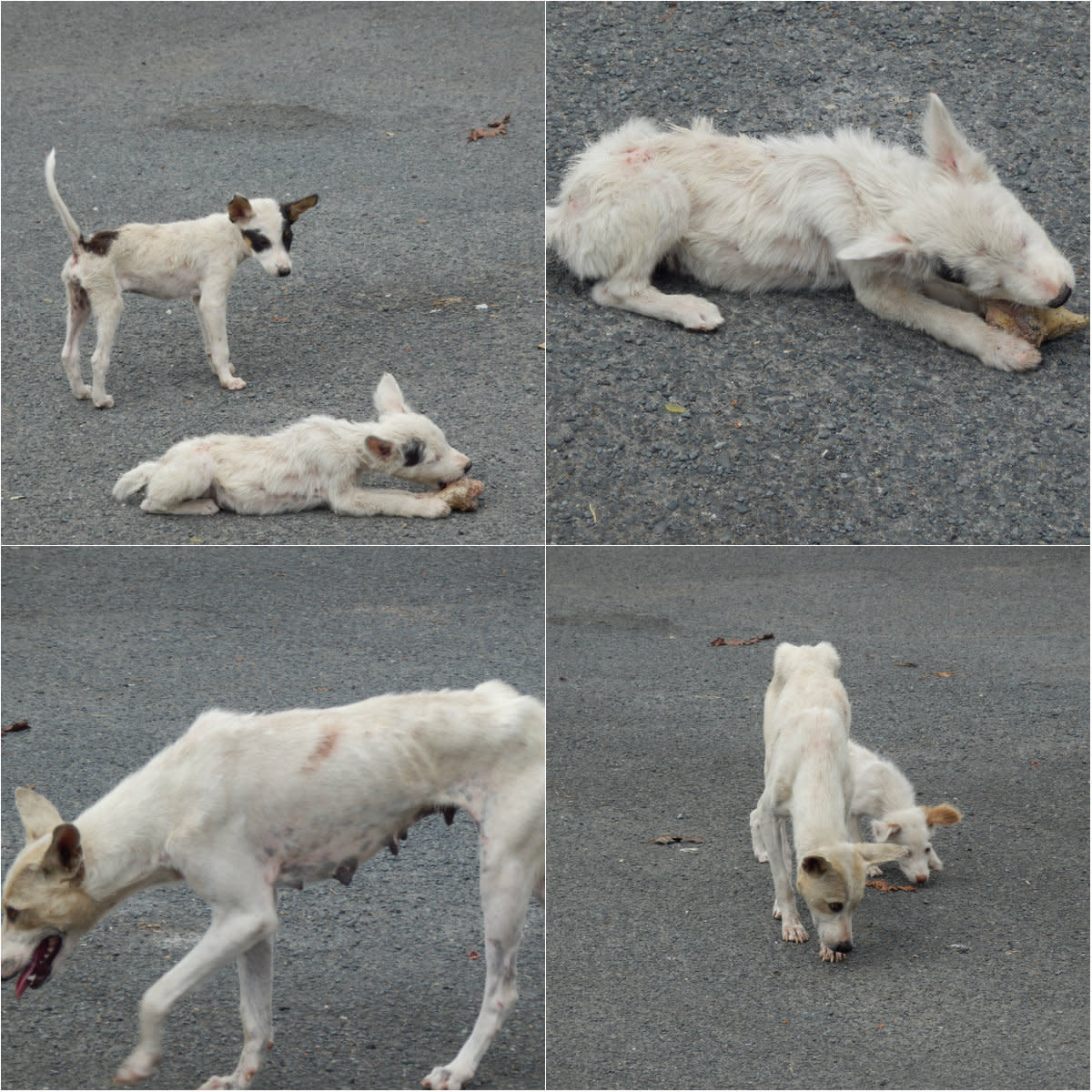The evidence of neglect is very evident. Just take a look at their skins and the entire disposition of these stray dogs.  Since these dogs live in unsanitary environments, they are prone to various diseases such as rabies, flea infection and ear mite