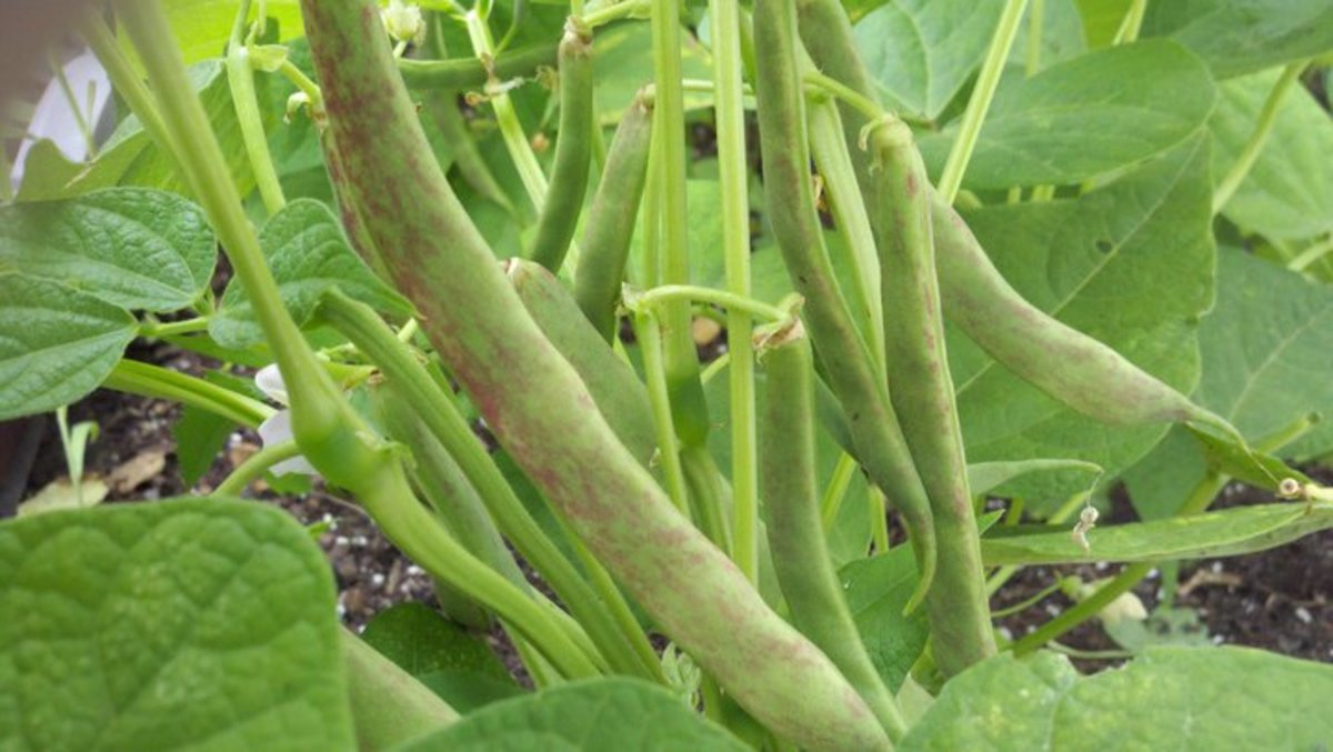 Italian Rose Heirloom bean on plant