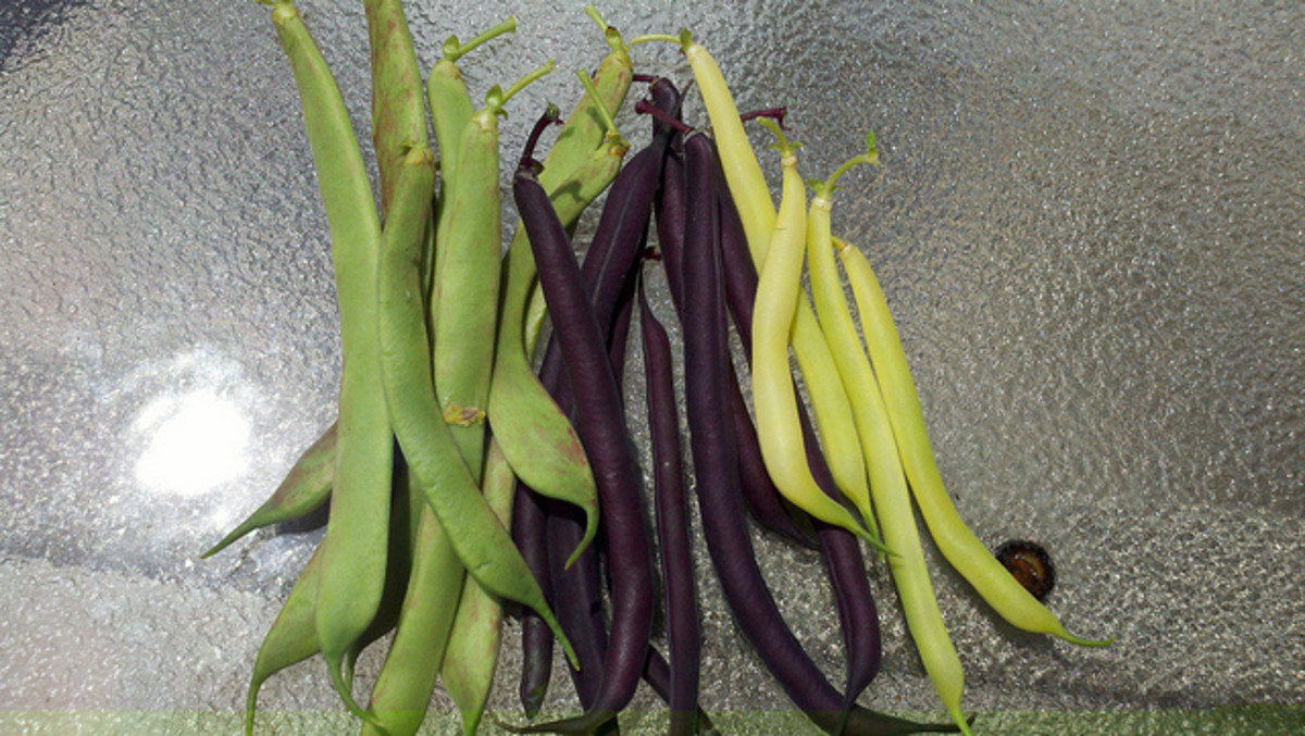 Italian Rose, Purple Queen and Eureka Wax Beans