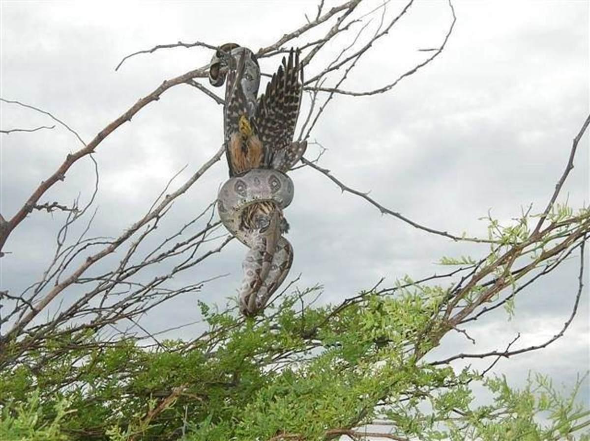 Boa Constrictor Eating a Bird
