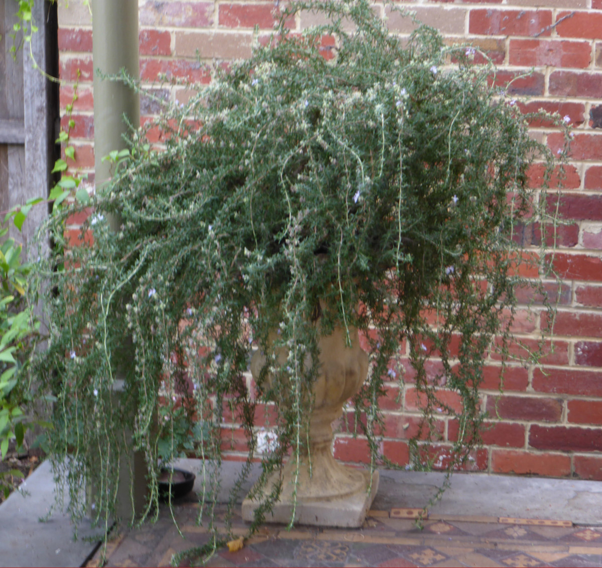 I used about an eighth of this bush for around 2kg of apples for my rosemary jelly. Image: © Siu Ling Hui
