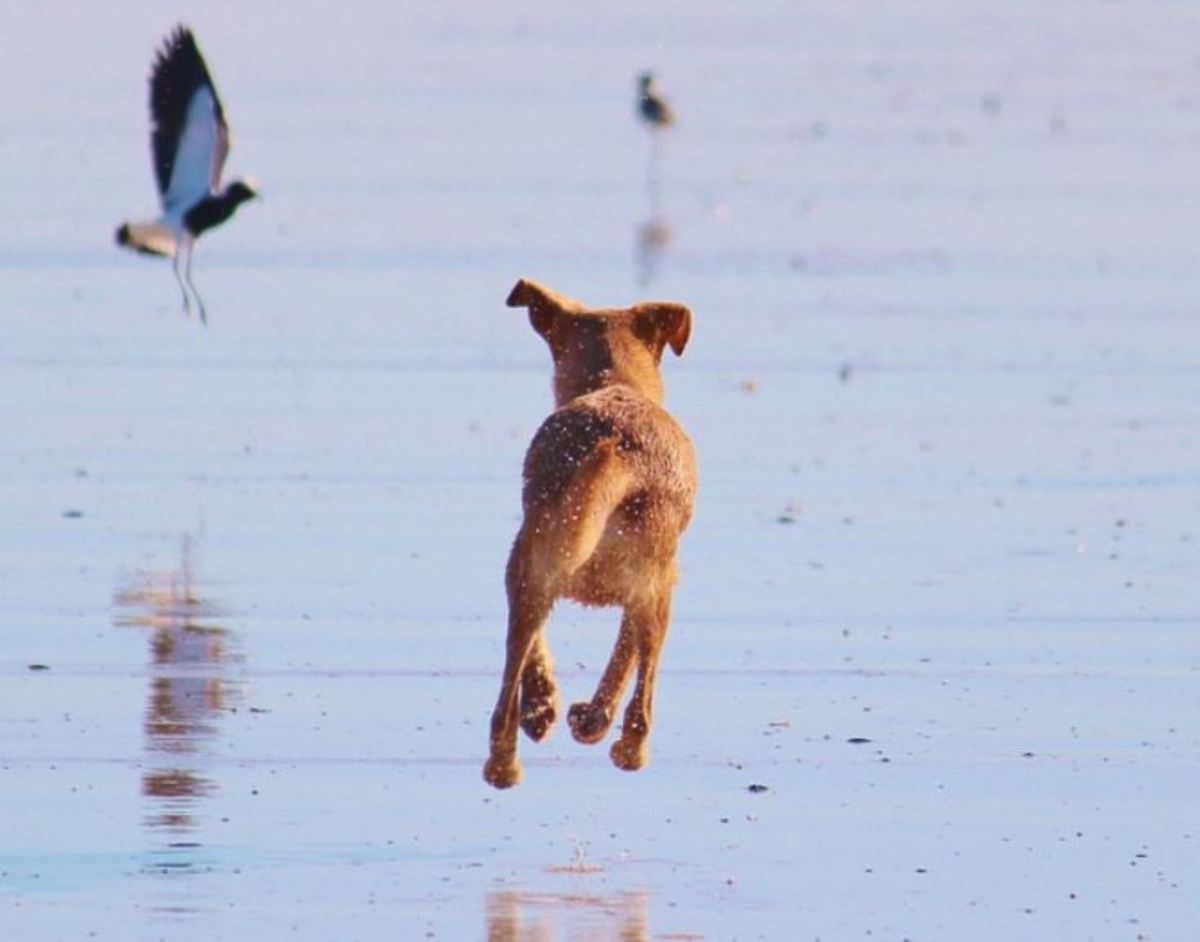 20 Dog Breeds With High Prey Drives and Strategies to Channel it