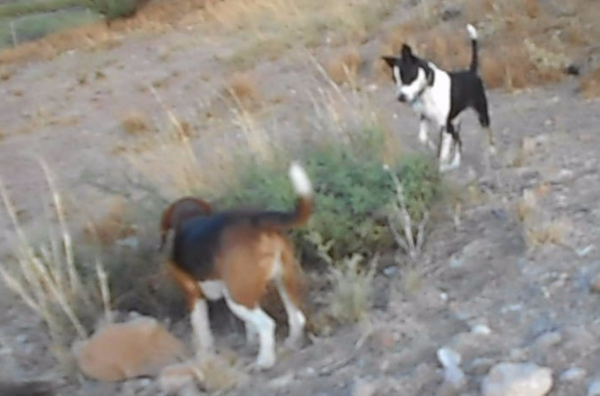 Two dogs showing high prey drive, one dog is a hound and other is a terrier mix. These dogs work as a team.