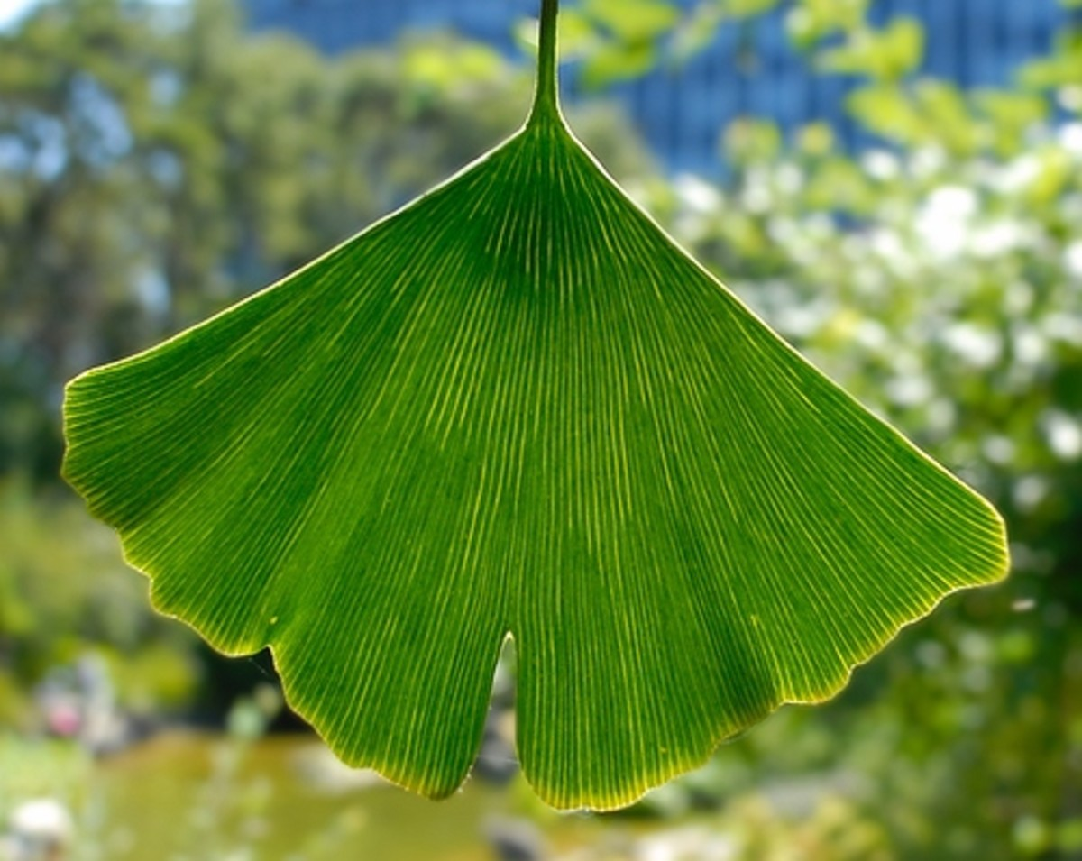 The unique Ginkgo Leaf