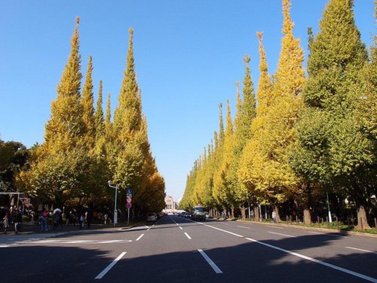 Ginkgo Tree lined Avenue leading to Meiji Memorial in Tokyo