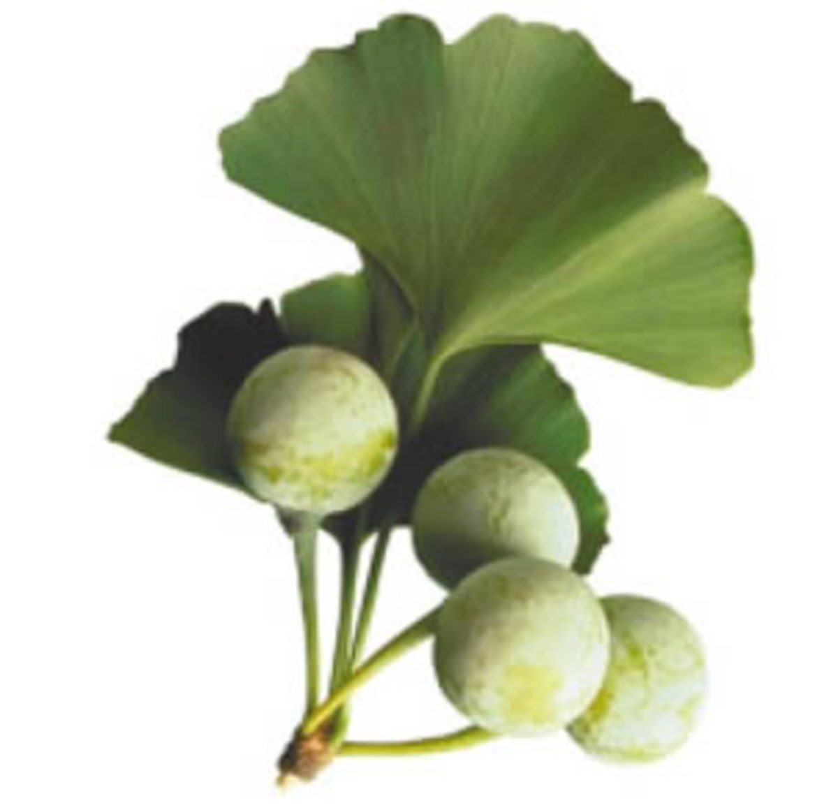 Ginkgo 'fruits'