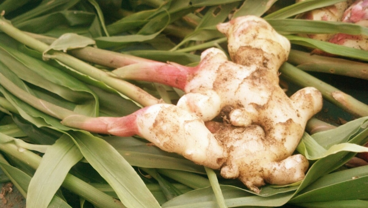 Here's a look at a ginger plant just after it's been pulled out of the ground.