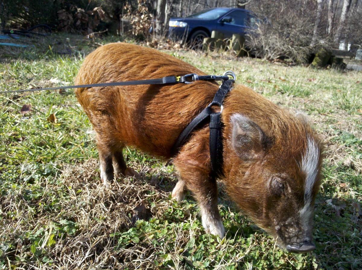 How to Housebreak or Potty Train a Micro Mini Pig