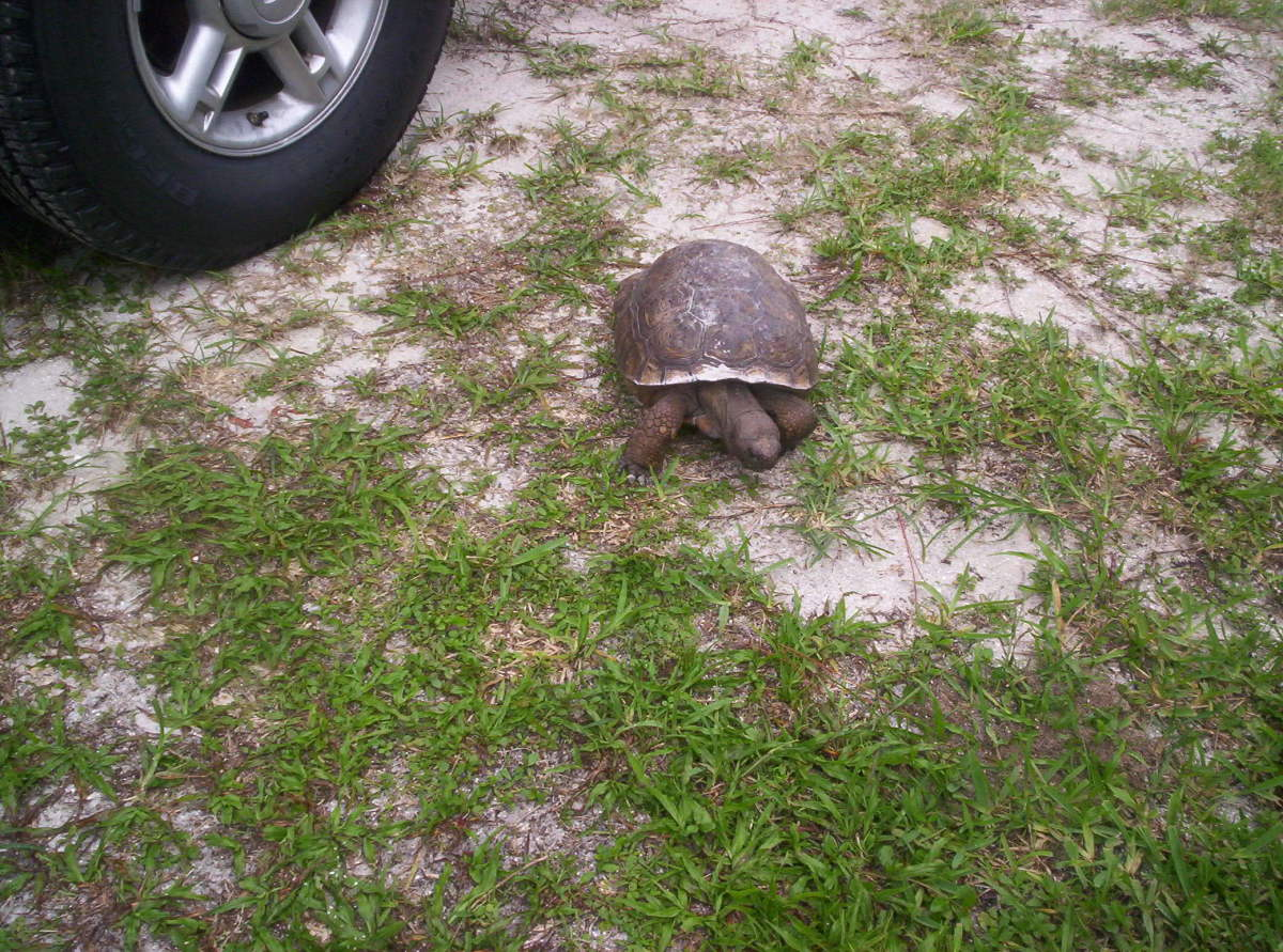 The Gopher Turtle is very common in Florida.