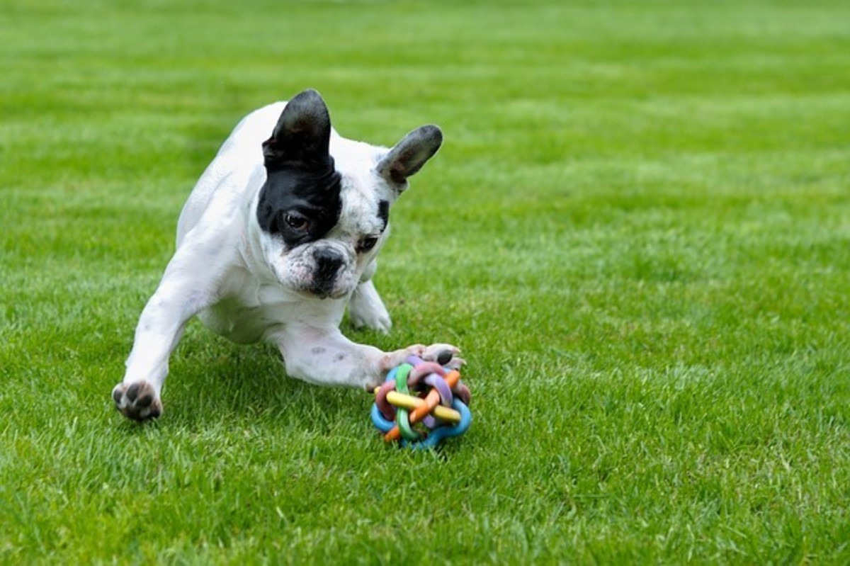 French Bulldog Playing with Toy