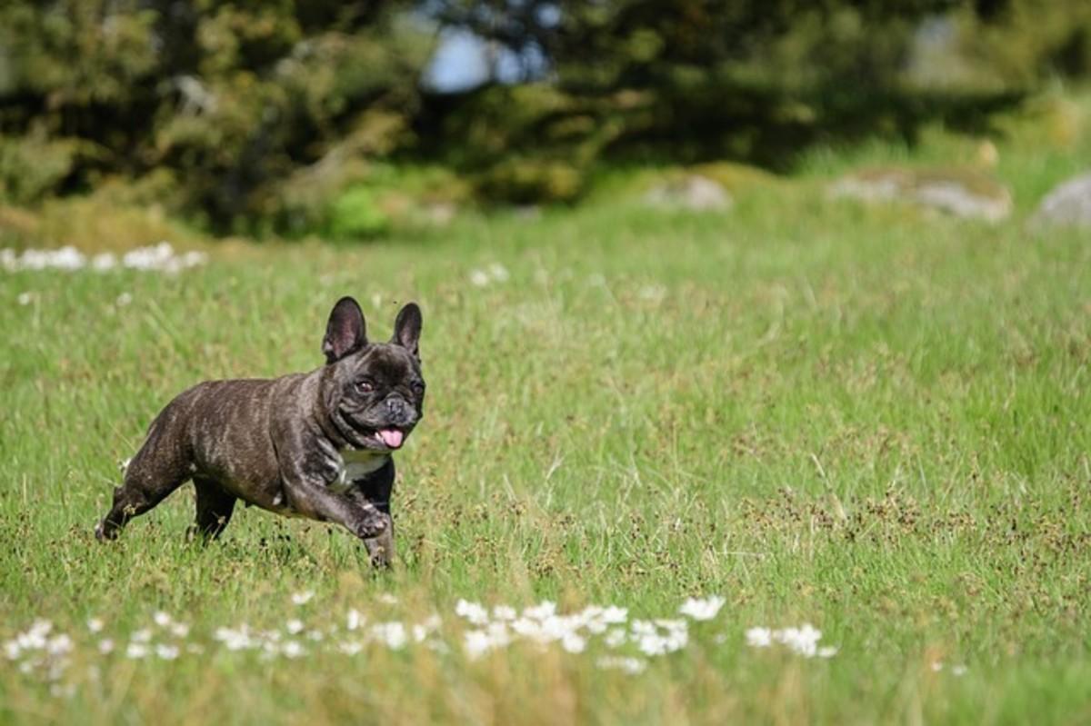 French Bulldog Playing