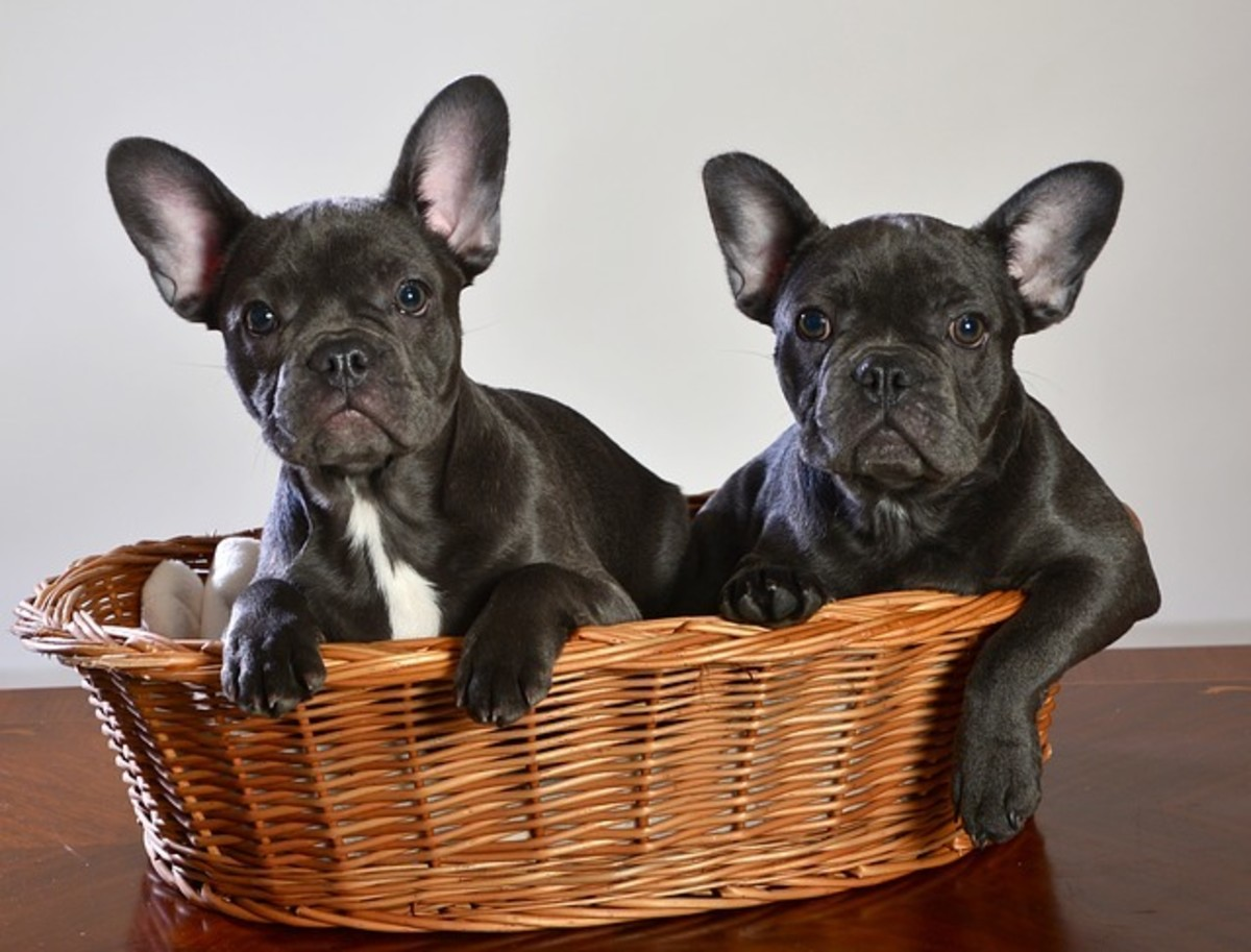 French Bulldogs in Basket