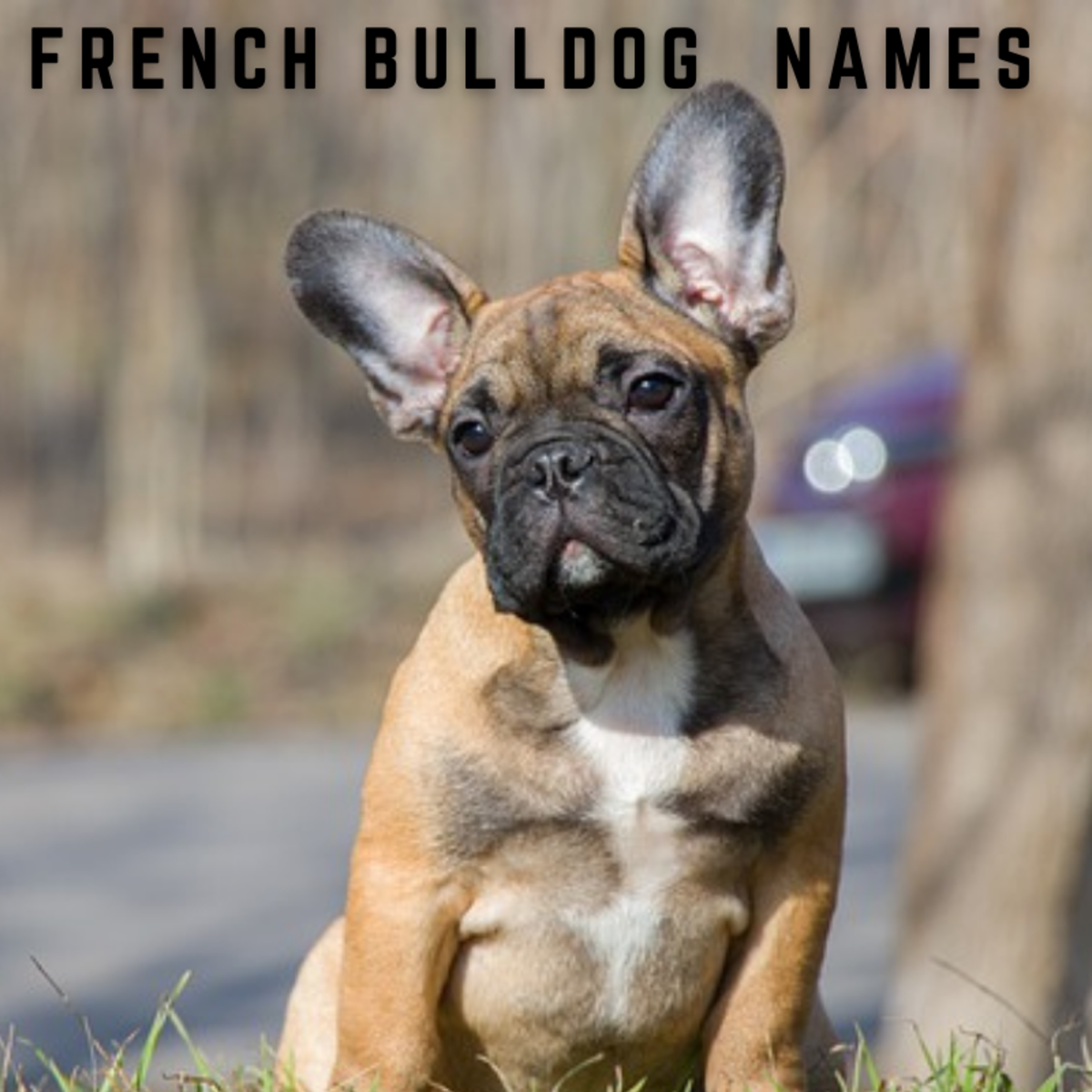 550+ French Bulldog Names (With Definitions)