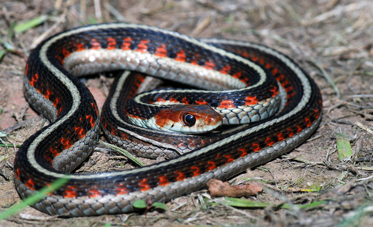 Garter snakes make active, attractive pets.