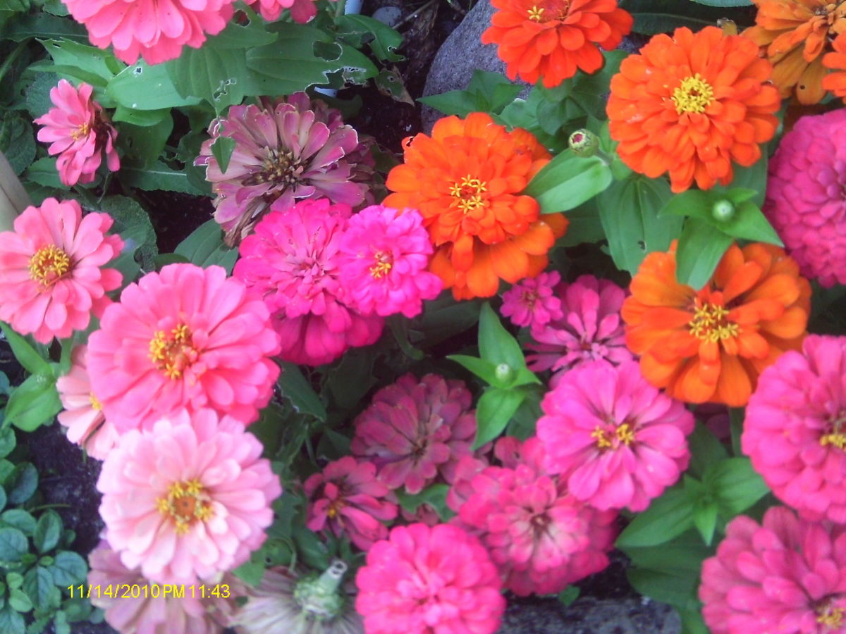 A bed of zinnias bring a rainbow of color