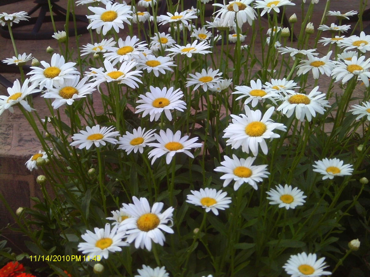 The daisy is April's birth flower. Daisies bring a smile to my face.