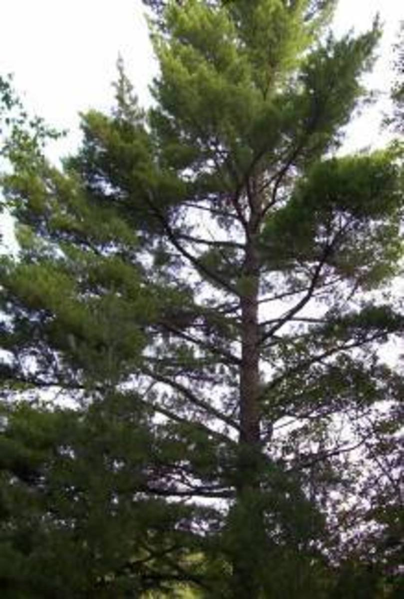 An Eastern White Pine in Arrowhead Provincial Park, which is located in Huntsville, Ontario, Canada. This species of pine tree is very important to the Haudenosaunee (Iroquois) people in the US and Canada.