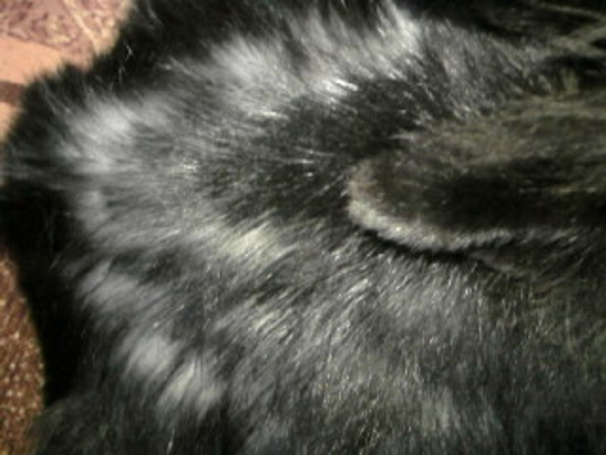 This is the early stages of moulting in a rabbit. As you can see the fur falls of in clumps.