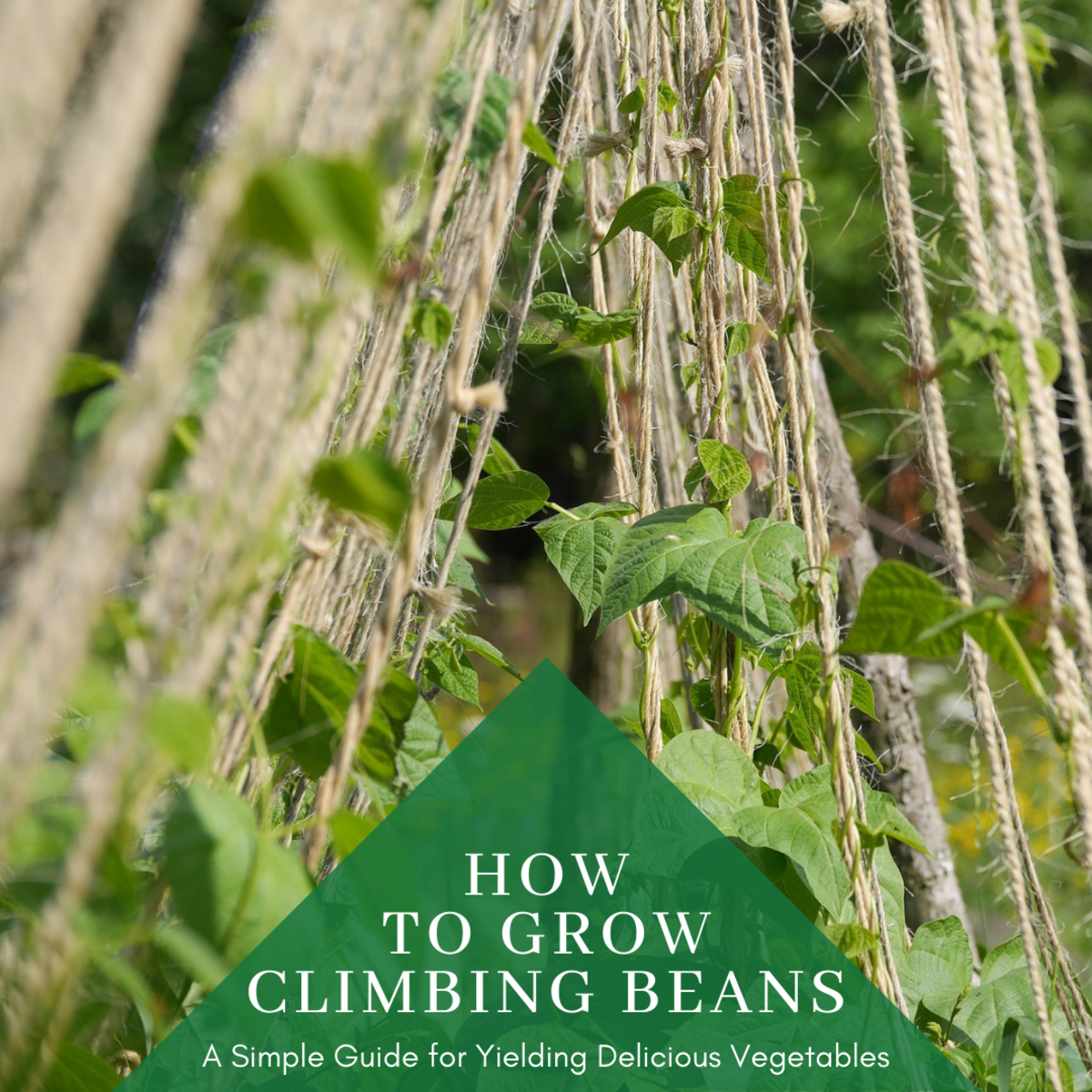 This guide will provide you with all the information you need to know to grow and care for healthy climbing bean plants.