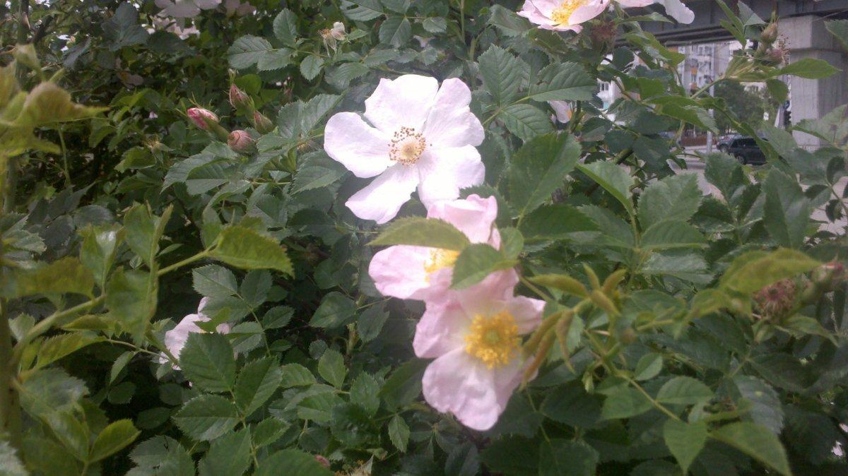 Dog rose blossoms (Rosa canina L.)