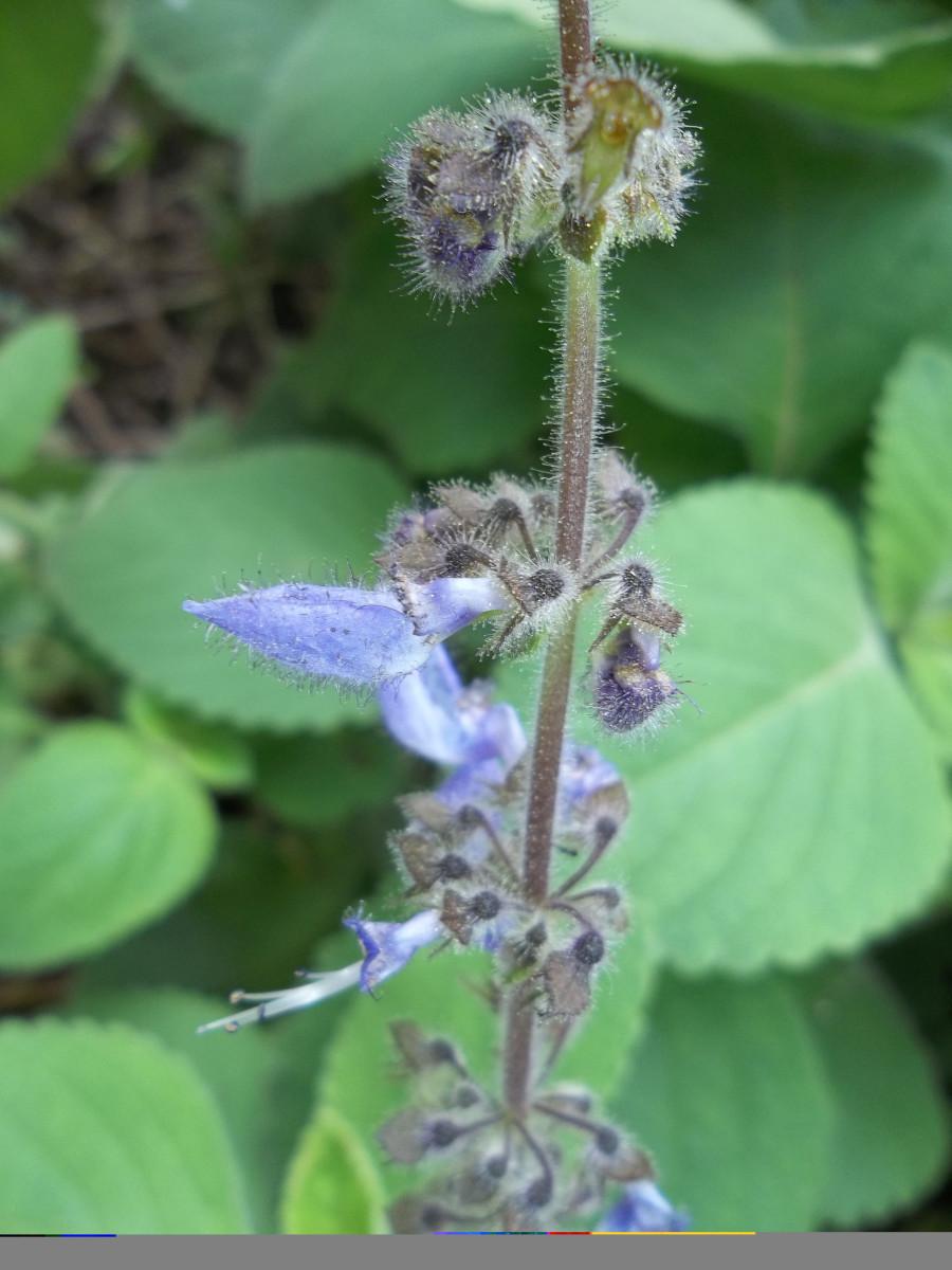 The sweet smelling purple flowers Plectrunthus barbatus