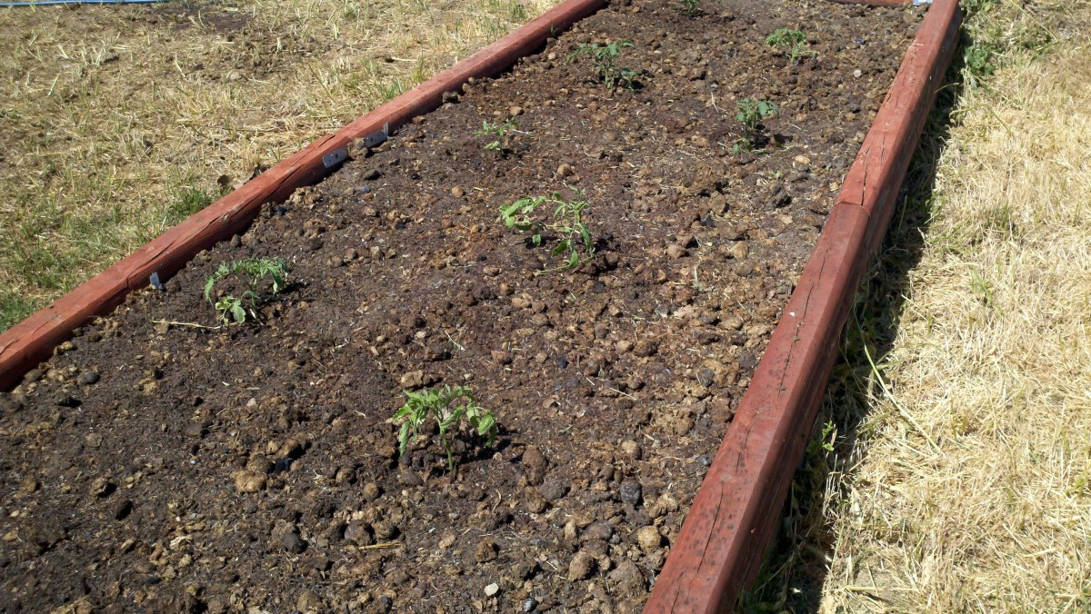 Little tomato plants enjoying their new spacious home in a raised vegetable garden bed