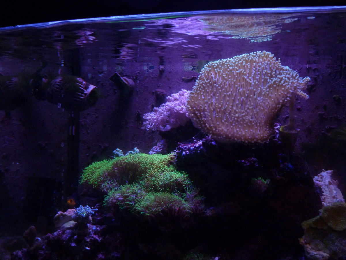A wider view of the toadstool, just for some perspective. This coral has gotten so gigantic I've had to move some of my other corals because it was blocking their light.