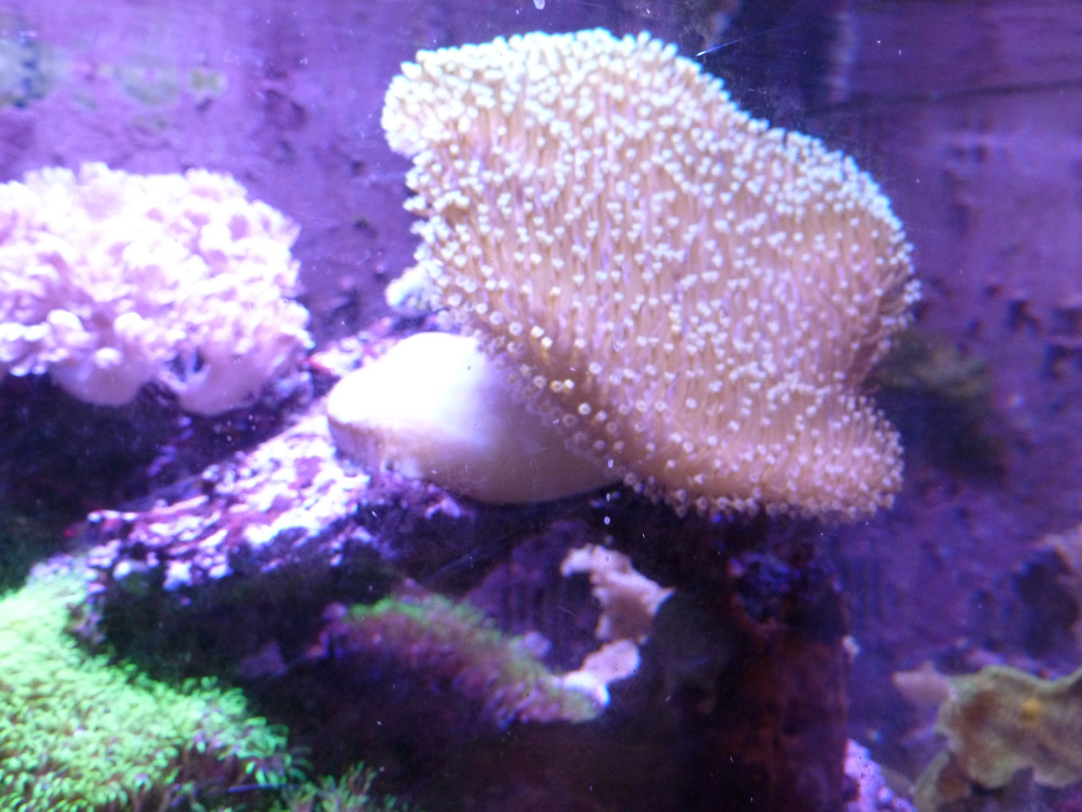 My toadstool coral, after the LEDs.