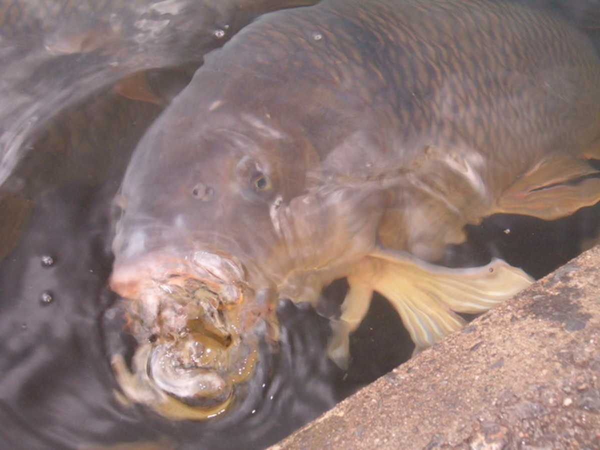 The carp love to eat dog food and bread that visitors feed them