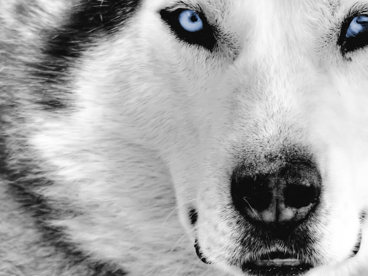 The Wolf and its Symbolic Meaning