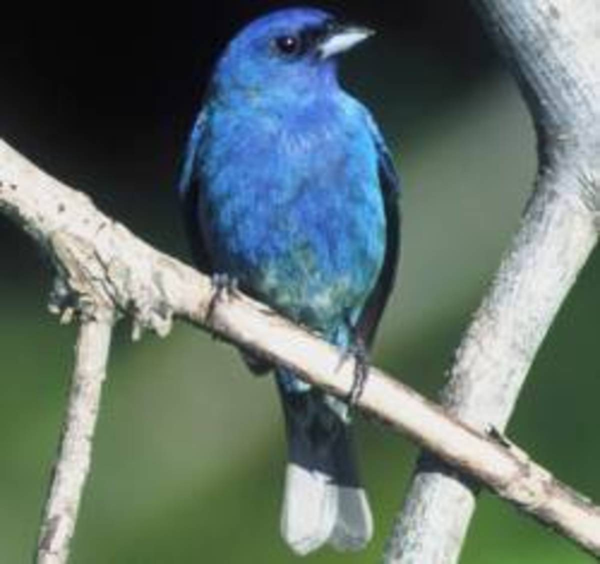 Though more vivid in color than the blue bird the indigo bunting is far less common in Asheville backyards.