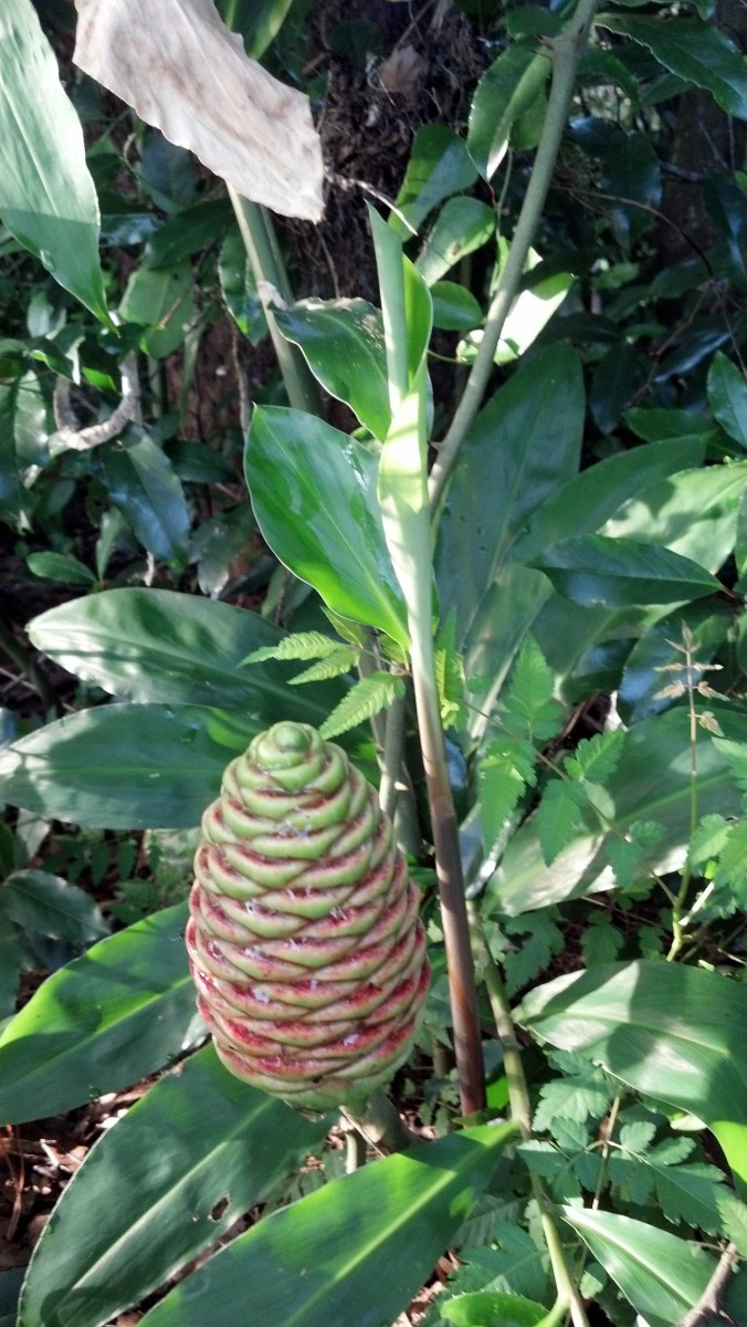 Pinecone Ginger: More Than Just a Pretty Face in Your Yard