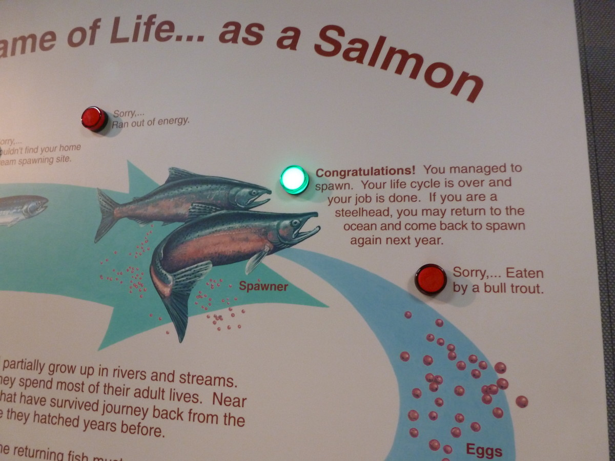 Every salmon's dream