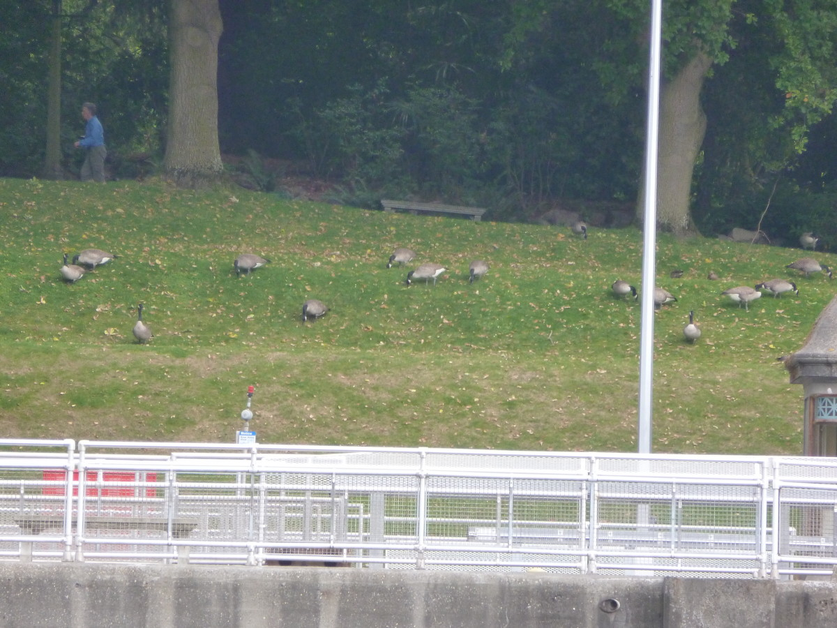 View of geese grazing from Commodore Park