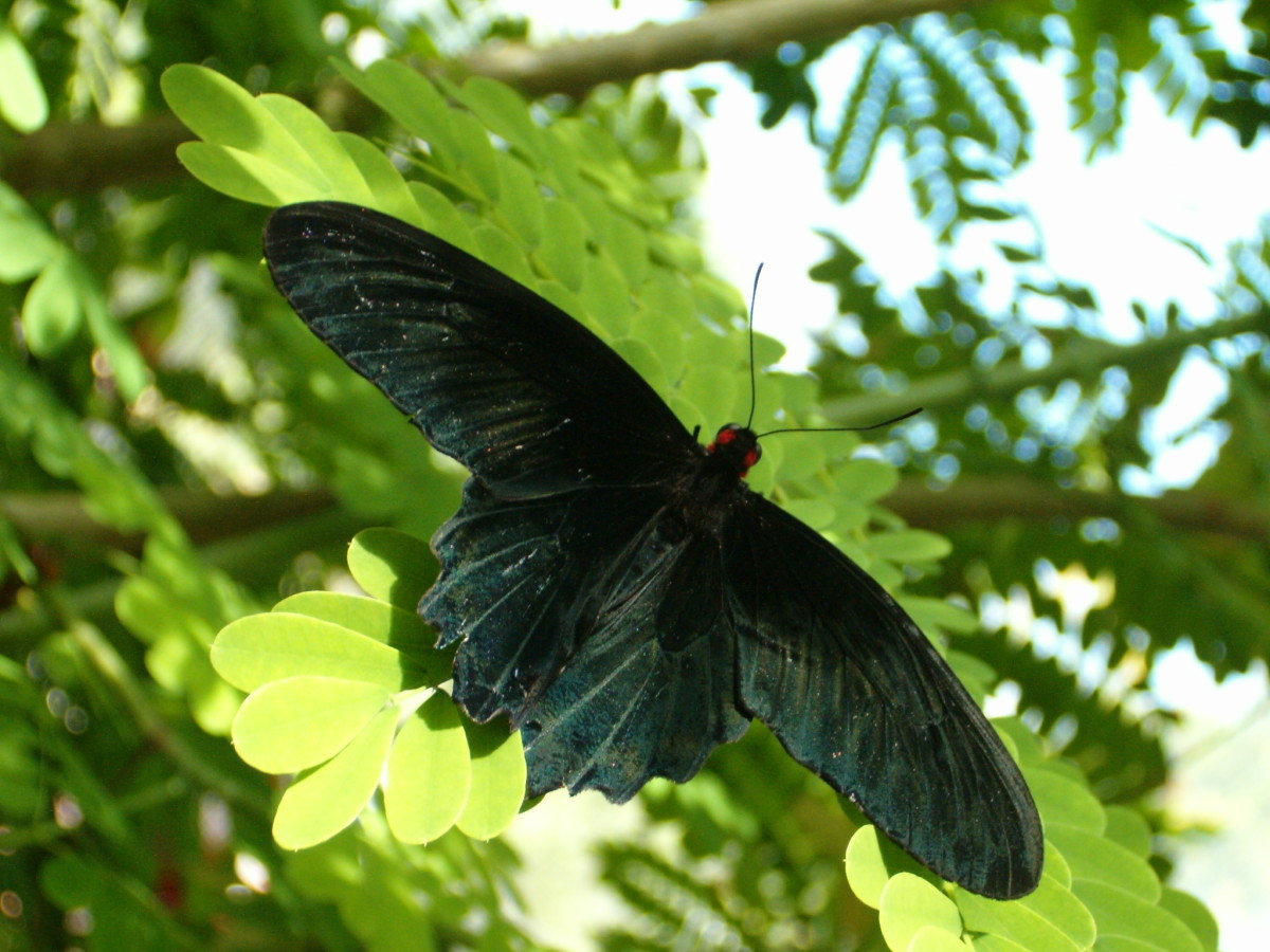 I love the shape of this butterfly, it is very unique.