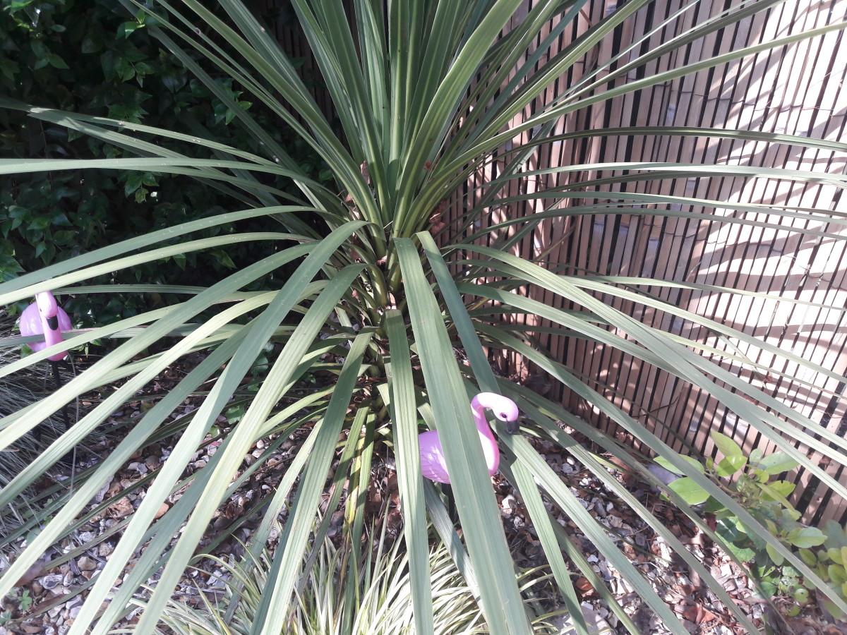 Green Australian cordyline garden plant with pink flamingo lights.