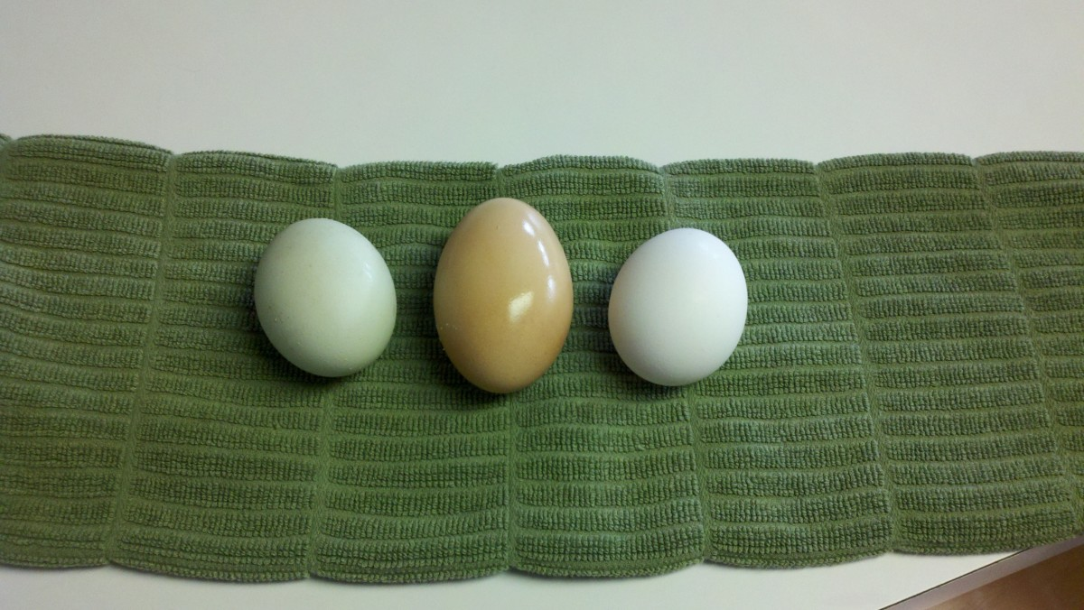 Two eggs from our chickens next to a regular store-bought white one.