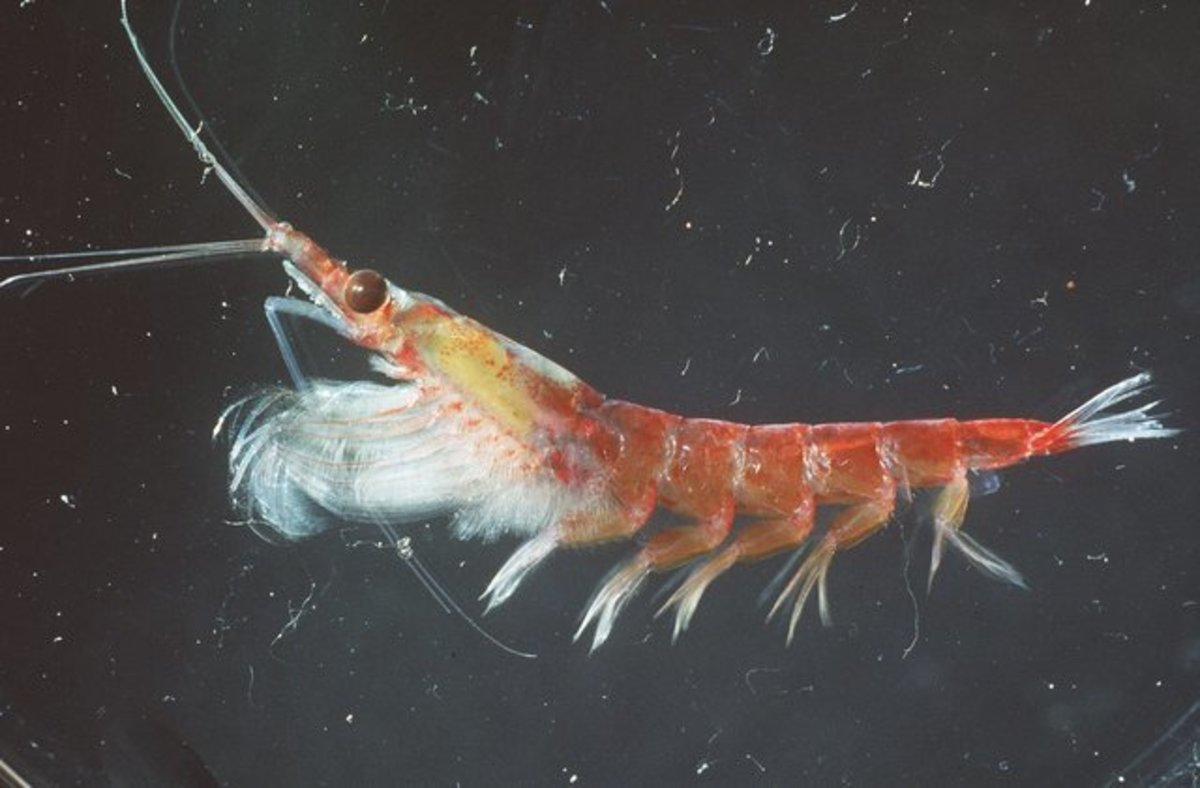 Antarctic krill for making oil