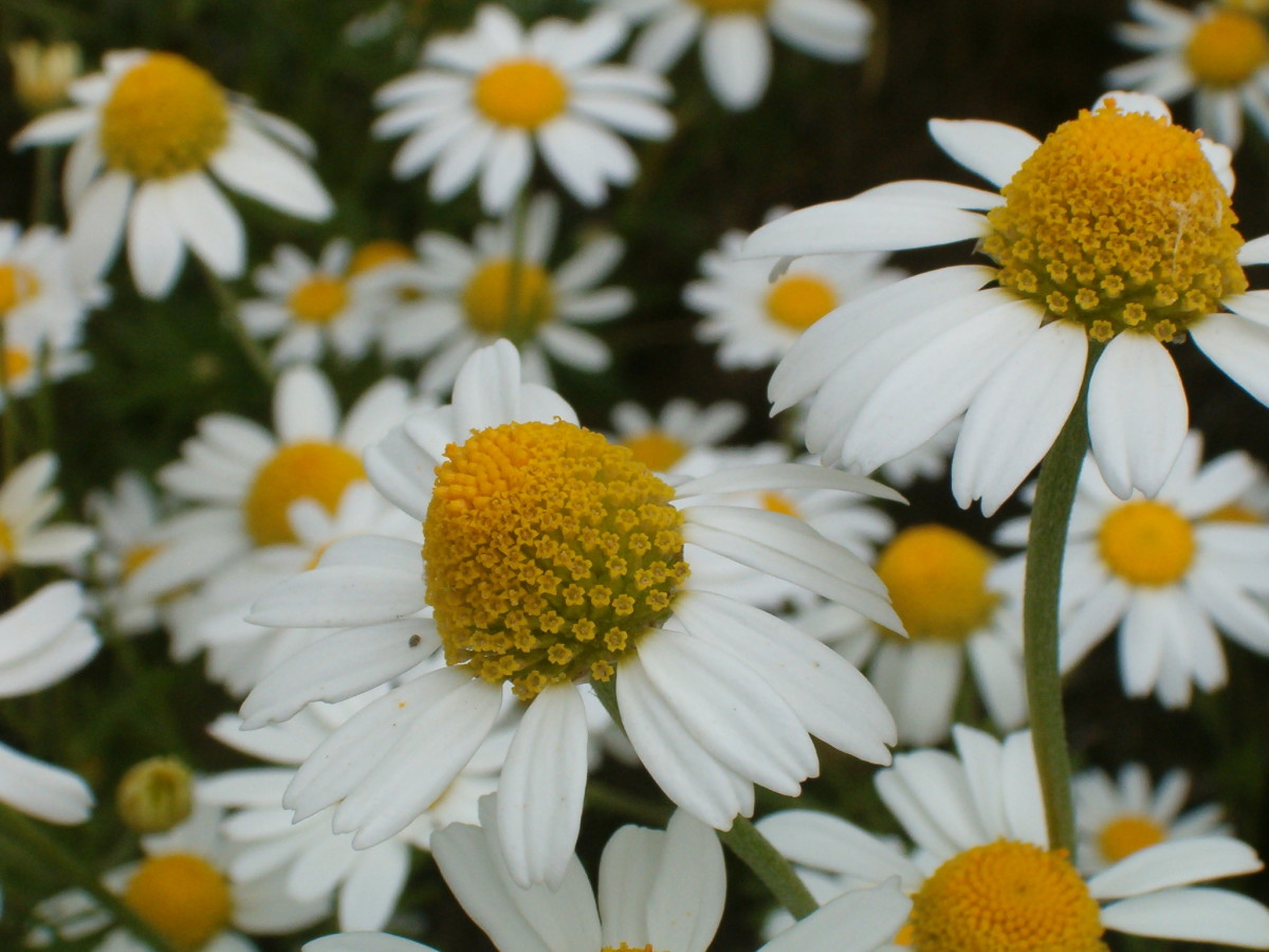 two types of chamomile oil are available; German Chamomile and Roman Chamomile