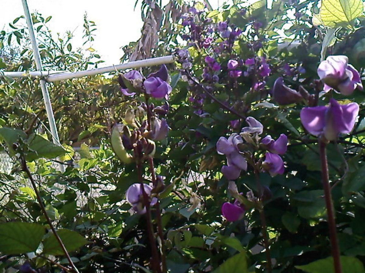 Hyacinth Bean - Growing Bataw and Its Health Benefits