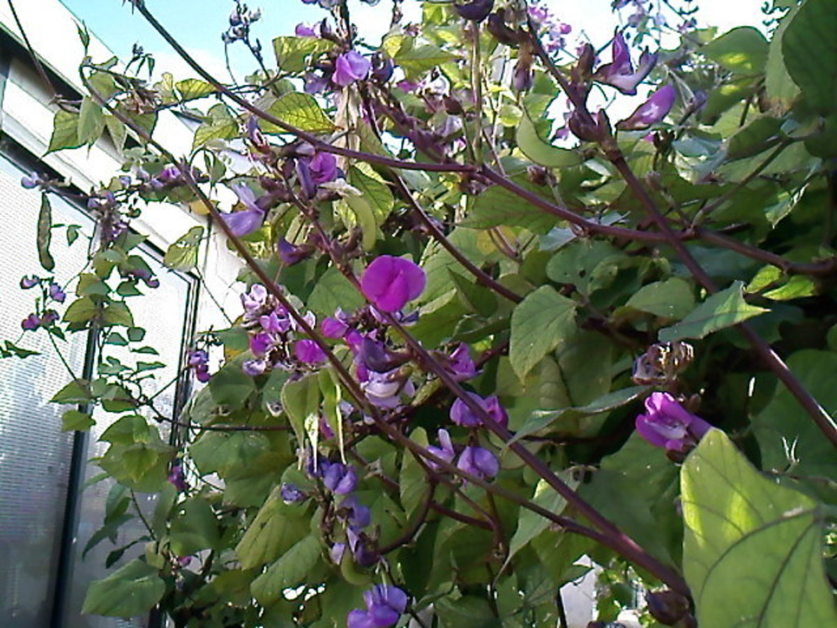 Hyacinth bean flowers from a friend's backyard.