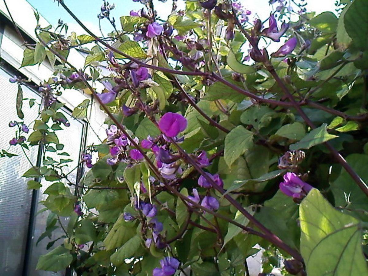 Flowering hyacinth bean from a friend's backyard garden.
