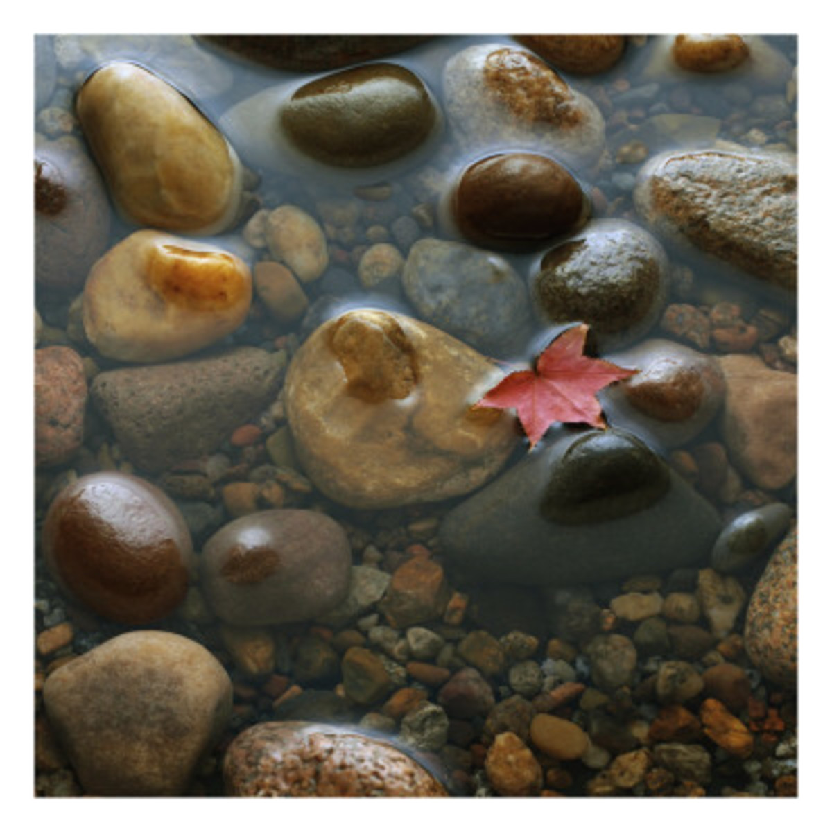 Red Maple Leaf Floating