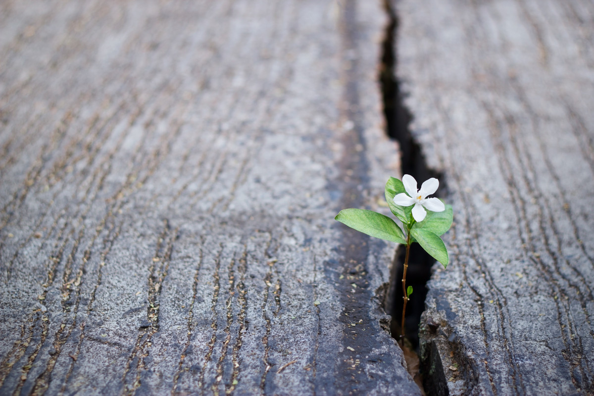 A white flower working on its aim to grows even through a crack in the ground.