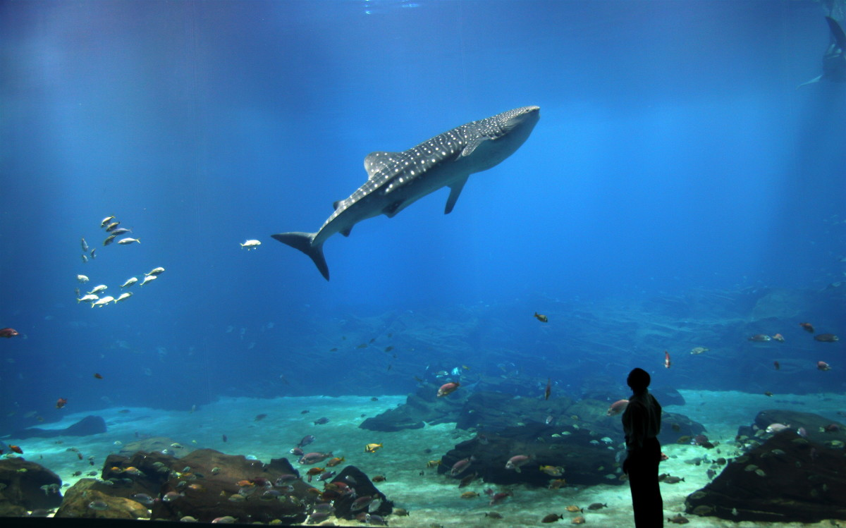An incredible Photograph of a man watching the whale sharks