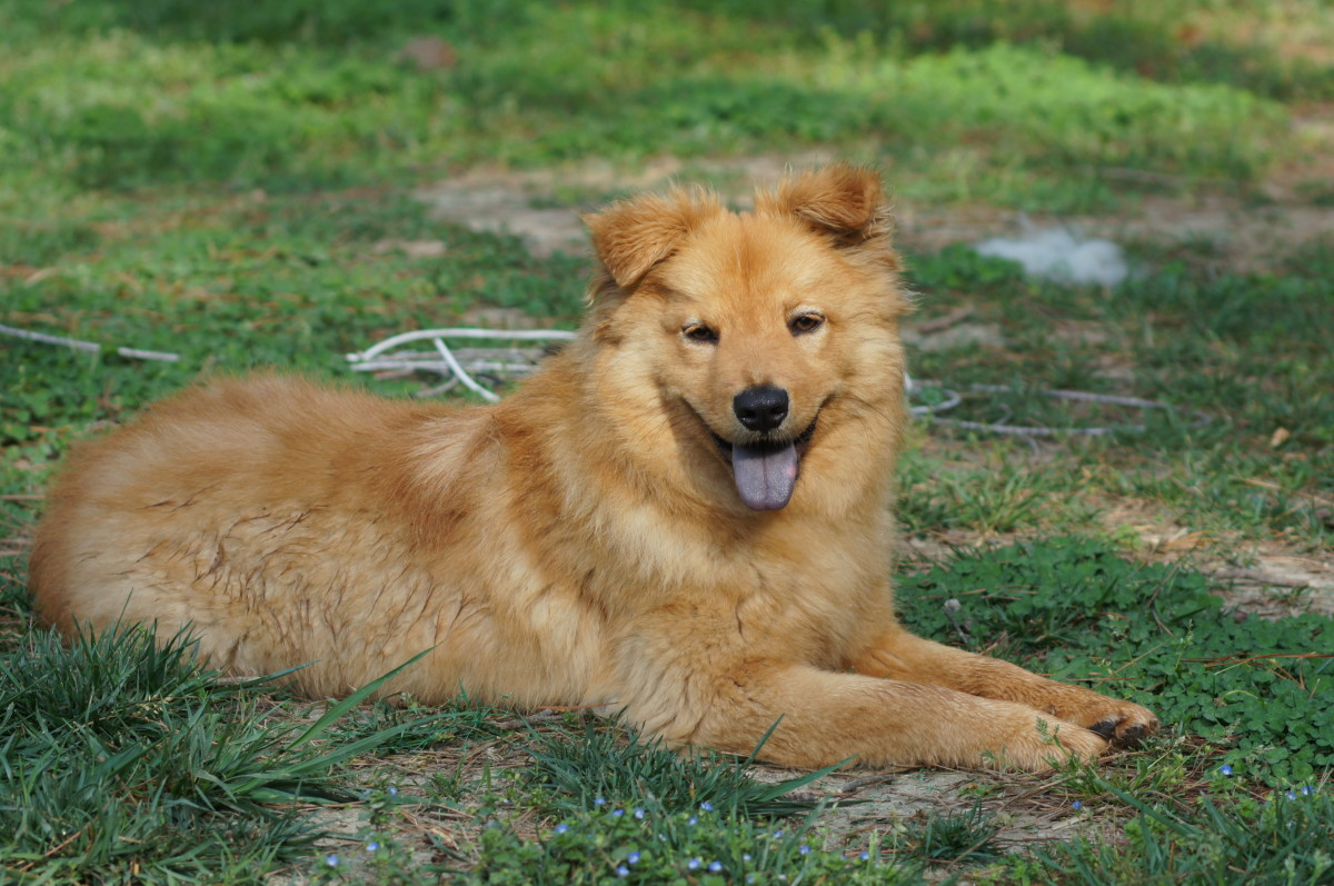 Golden Retriever and Chow Chow Mix