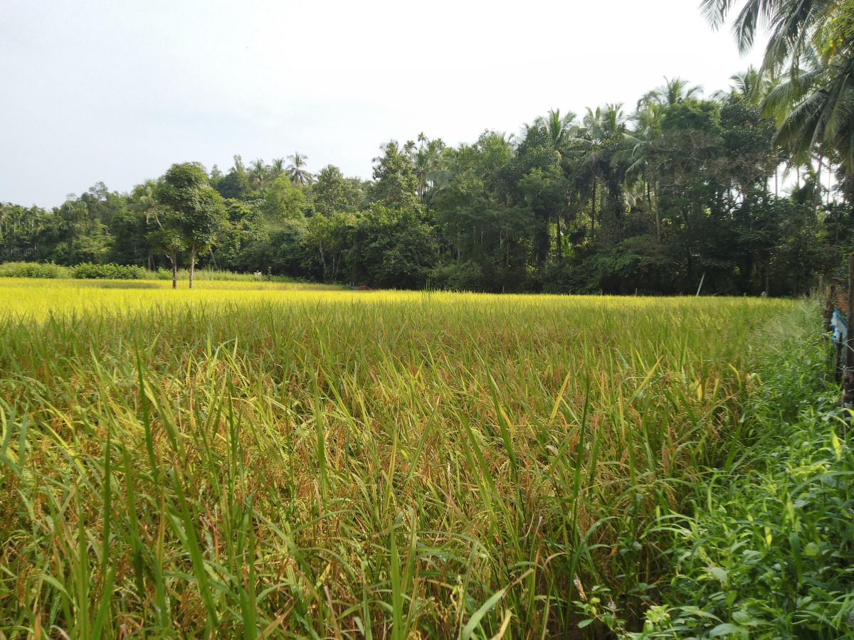 A scene from Indian paddy field