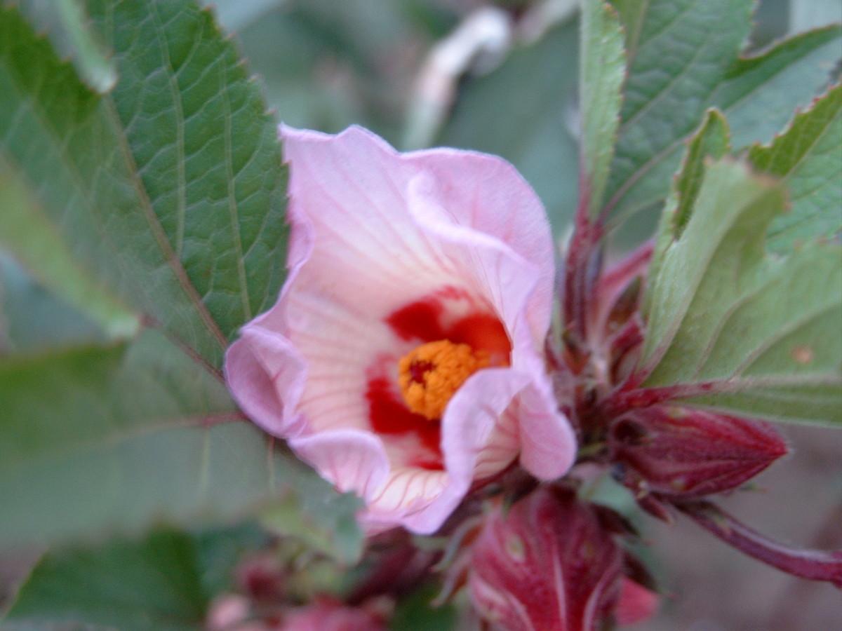 A hibiscus sabdariffa flower.