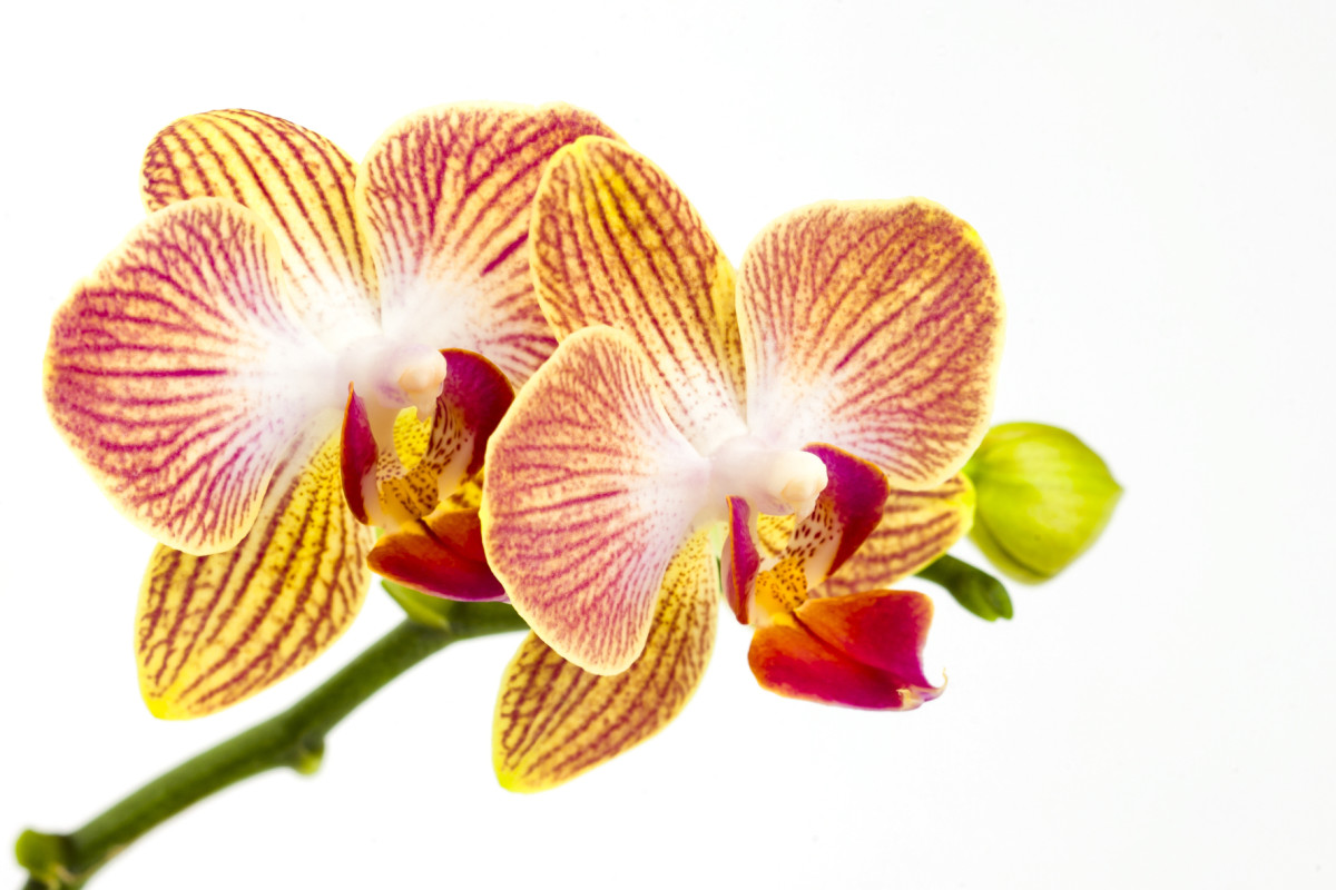 Different Types of Orchids